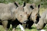 Rhinos are well protected at Lake Nakuru