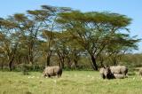 Rhinos, Lake Nakuru