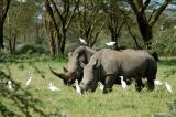 Rhinos are common and easy to see at Lake Nakuru