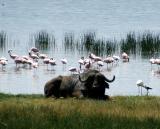 Buffalo, Lake Nakuru