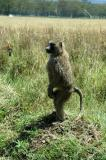 Olive baboon standing