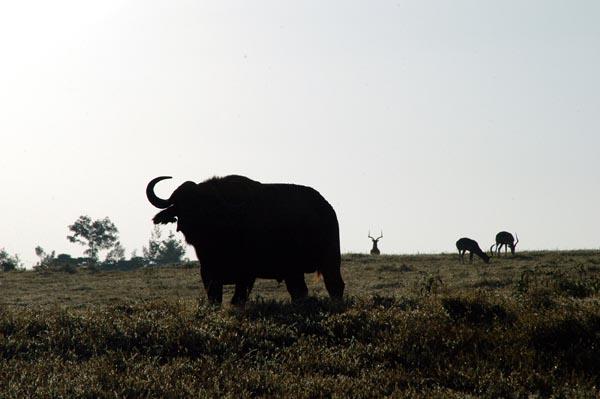 Buffalo silhoutte