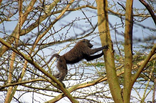 Baboon in a tree near the main gate