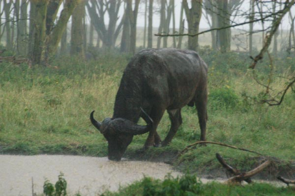 African buffalo drinks in the pouring rain