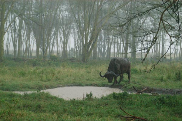 African buffalo in the pouring rain