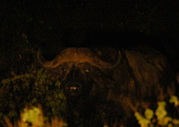 Buffalo at the Makalia Falls campsite, Lake Nakuru