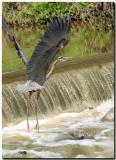 Blue herons-2004