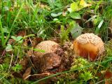 Fungus Breaking through.jpg