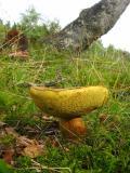 Fungus Yellow Underside.jpg