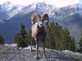 Bighorn - Banff N.P.