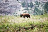 Bear - Waterton N.P.