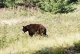 Black Bear - Waterton N.P.