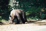 Black Bear - Sequoia N. P.