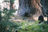 Mother and cub - Sequoia N. P.