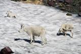 Mountain Goats - Glacier N.P.