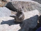 Squirrel - Yosemite N.P.