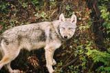 Wolf - Jasper N.P.
