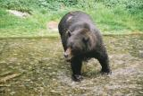 Grizzly at Fish Creek - Hyder, Alaska