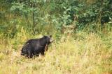 Black Bear - Near the road, B.C.