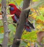 Crimson_rosella_small