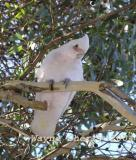 Short-billed Corella