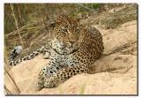 Rock Drift Male Leopard (MalaMala). 34583727.6826.jpg