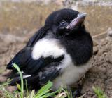 Magpie, Middlesbrough, UK
