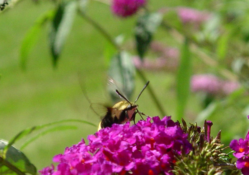 August 29, 2004<br>Snowberry Clearwing Moth