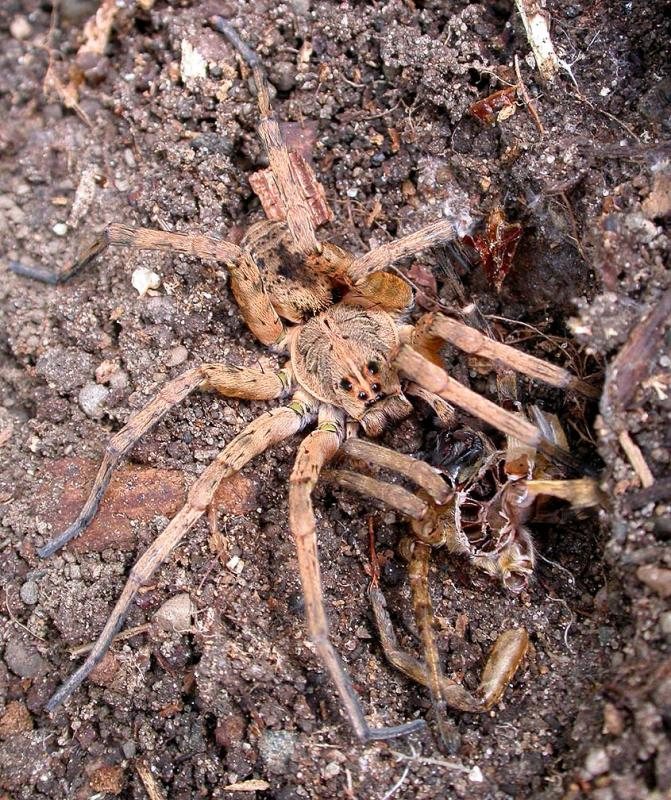 Large spider with exuviae  --  (Dolomedes species)
