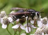 Bald-faced hornet  --  Dolichovespula maculata
