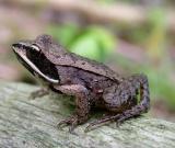 Wood frog -- 2