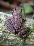 Wood frog -- 3