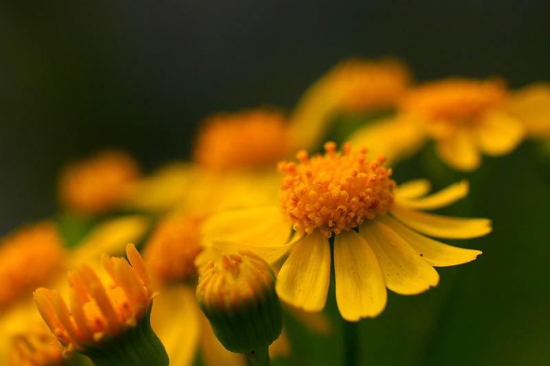 Cut-leaf Groundsel