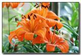kcflower 003 copy.jpg