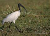 Black-Headed-Ibis.jpg
