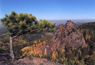 Siberian pine