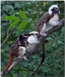 Cotton-top Tamarins with young