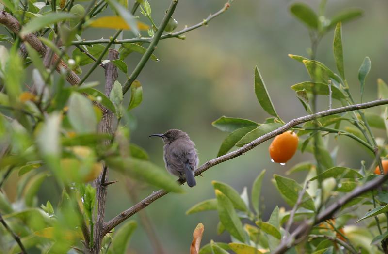 Sunbird female.jpg