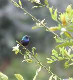 Sunbird male.JPG
