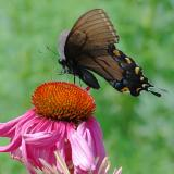 Female Tiger Swallowtail & Cone Flower