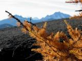 Larch Tree with North Cascades in Background
