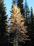 Larch Tree near Sunset