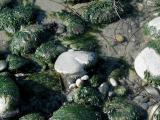 Rocks and Algae
