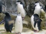 King Penguins in Moody Aquarium