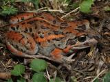 Salmon-striped frog, Limnodynastes salmini