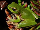 Leaf-green tree frog, Dryosophus phyllochroa