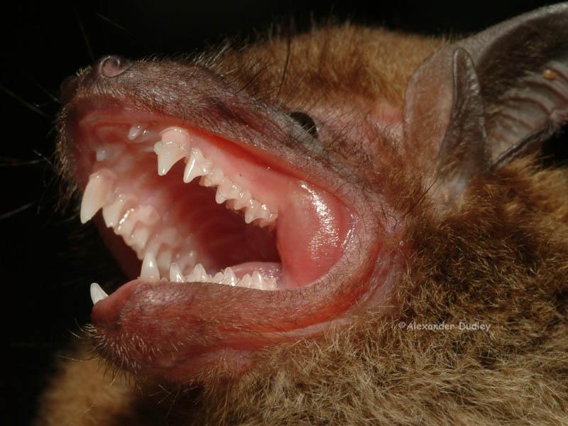 Greater Broadnosed Bat