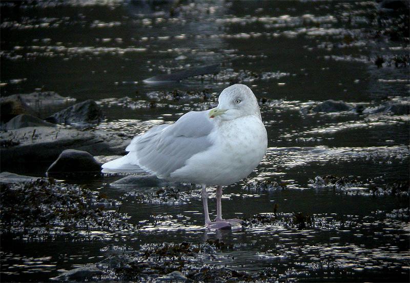 Iceland Gull (adult)