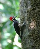 Crimson-crested Woodpecker