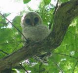Barred Owl fedgling